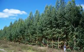 ArborGen freeze-tolerant eucalyptus trees